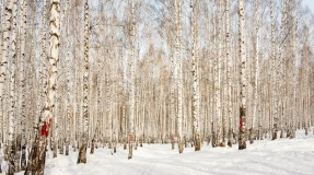 3587142-ski-run-in-a-winter-birch-forest