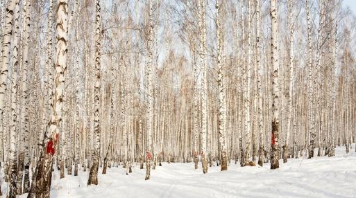3587142-ski-run-in-a-winter-birch-forest